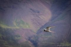 Seeschwalbe Skagafjoerdur