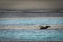 Heradssandur Seehund