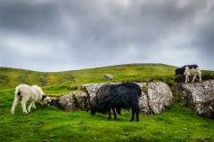Schafe Färöer