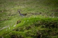 Brachvogel Färöer