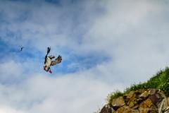 Borgarfjarðarhöfn Papageientaucher