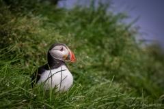 Island Ost - Papageientaucher Borgarfjarðarhöfn