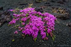 Island Blume Hverfjall
